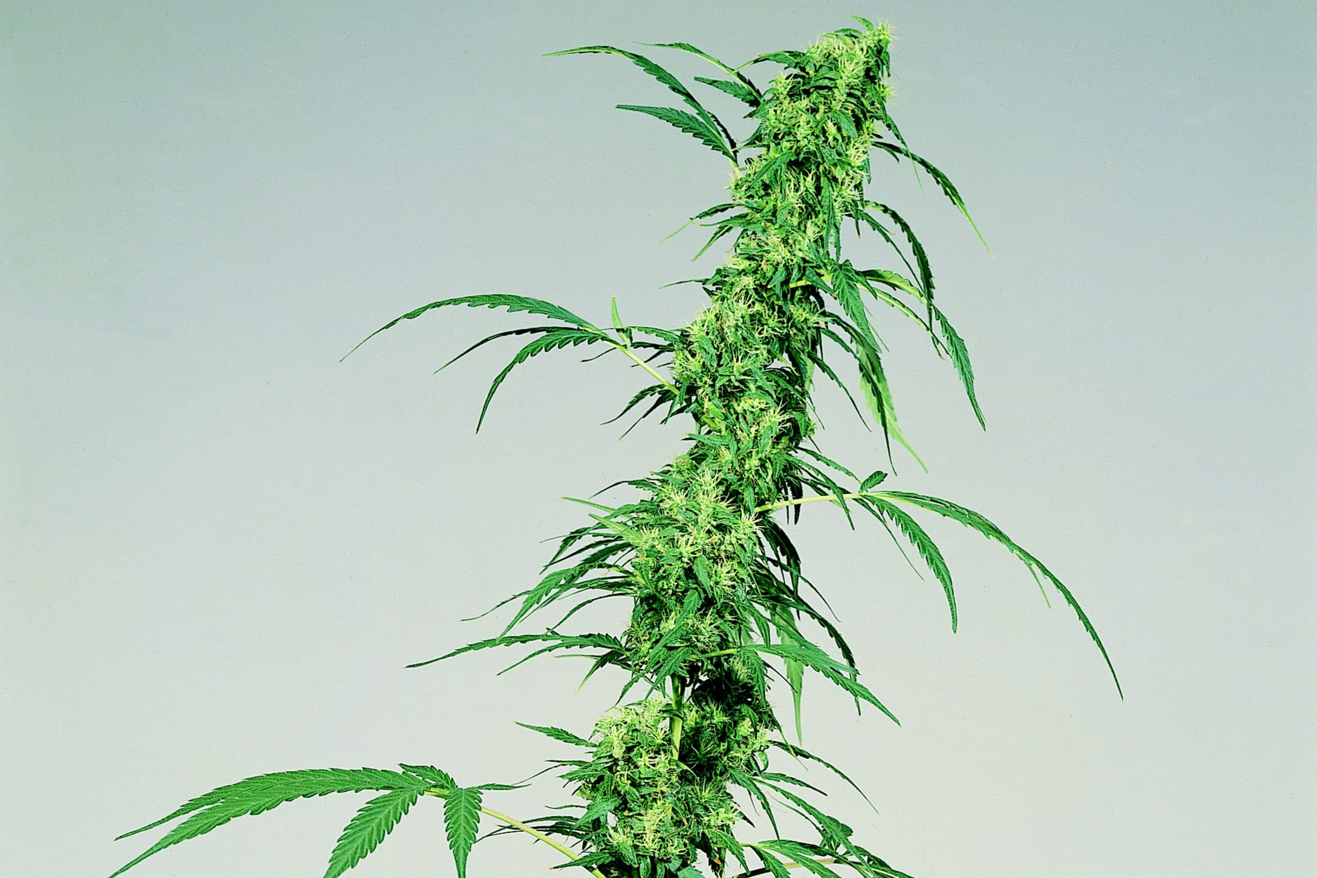 A Guide on How to Grow Sativa Plant