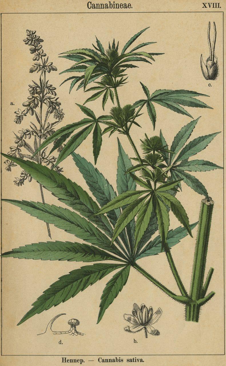Ilustración holandesa de Cannabis Sativa, del siglo XIX.