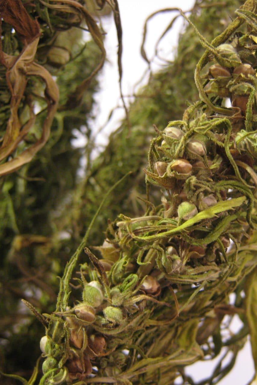 Hemp seeds in a cannabis flower.