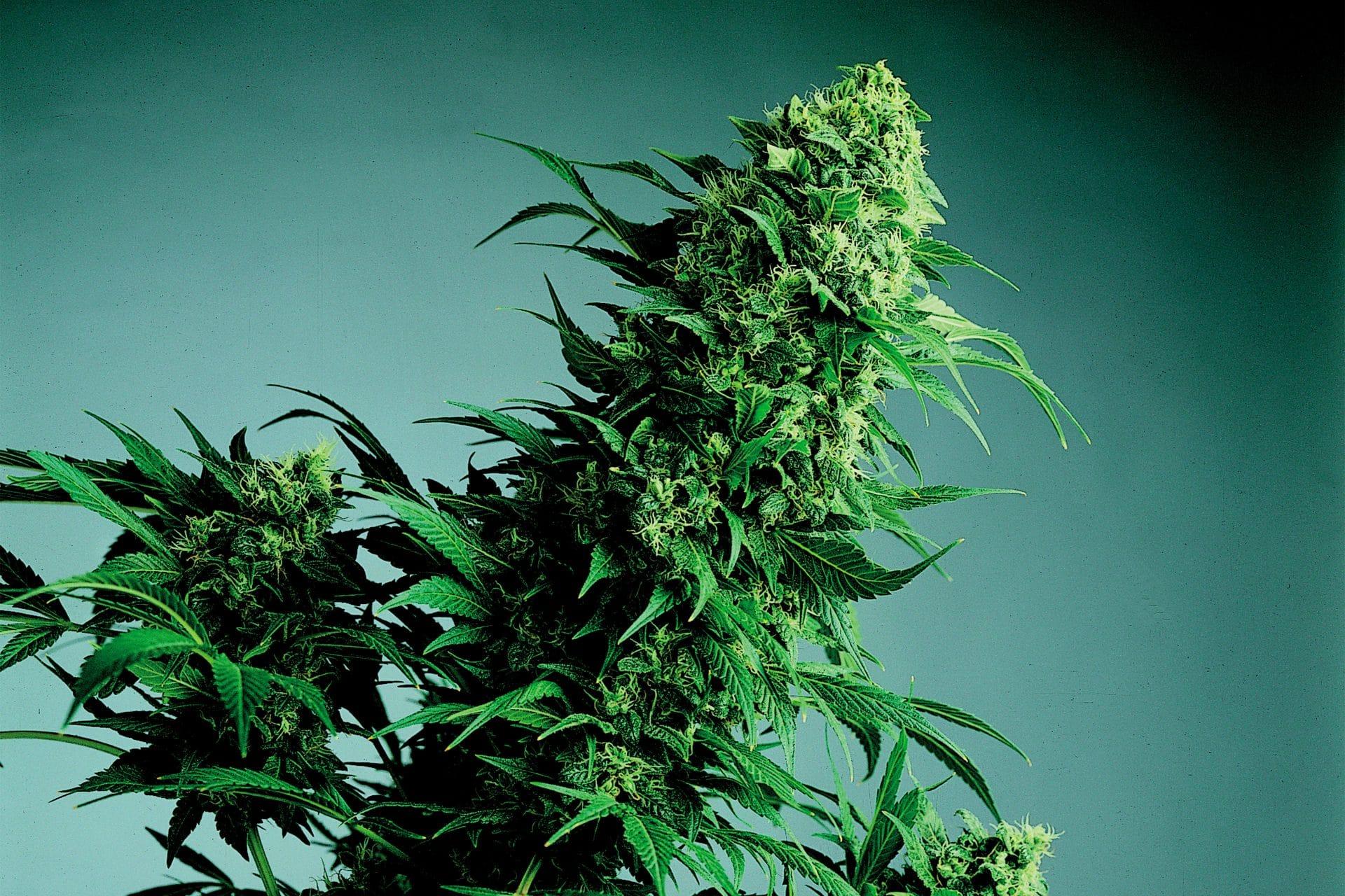 Cannabis Indica bud