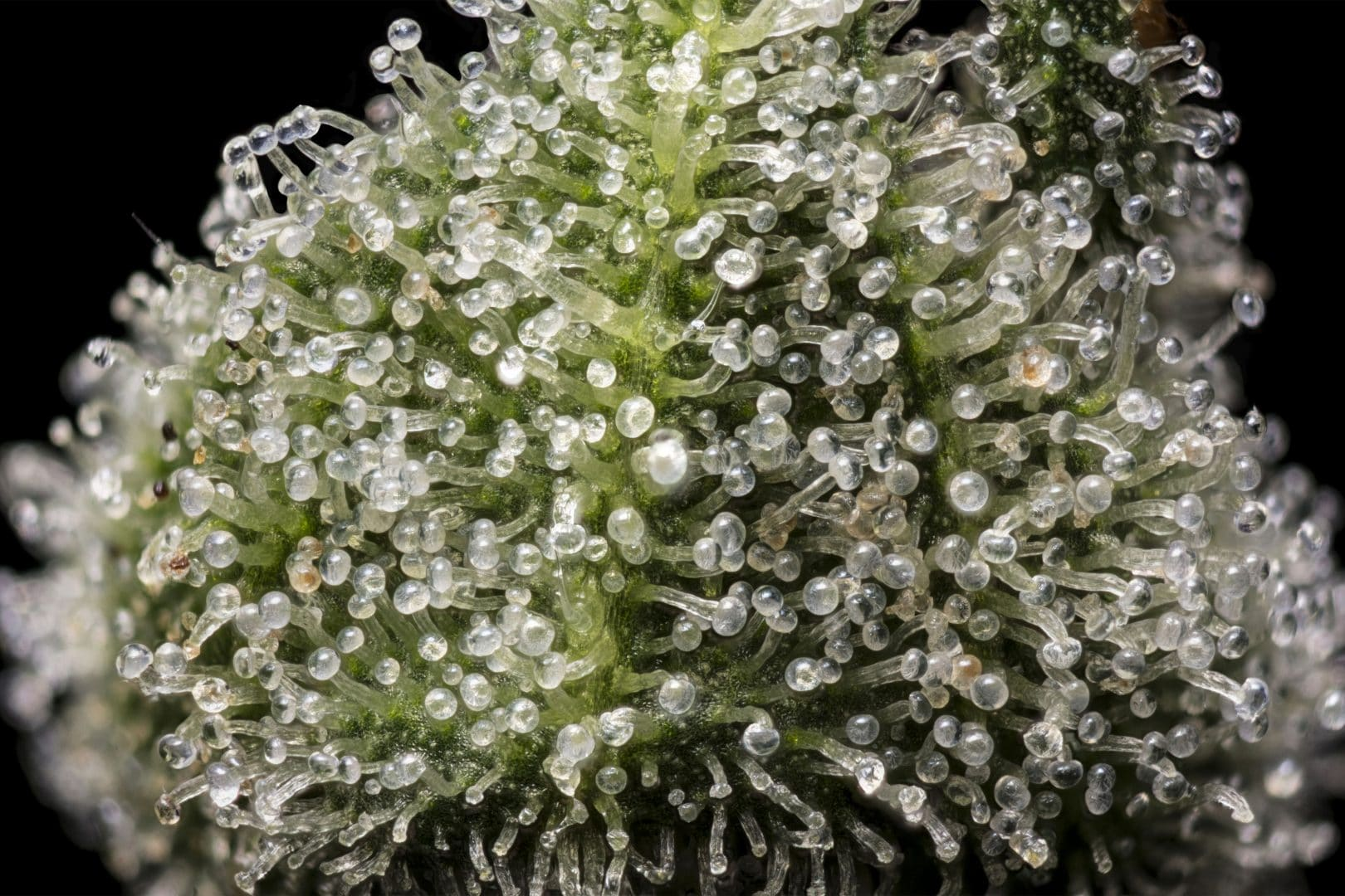 Trichomes on a Jack Herer plant.