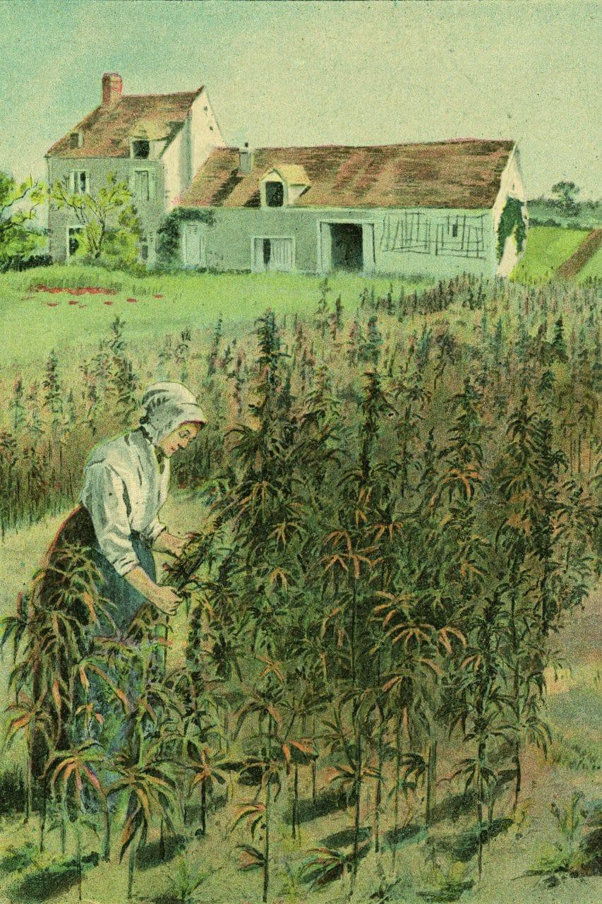 Drawing of a woman in a hemp field in France.